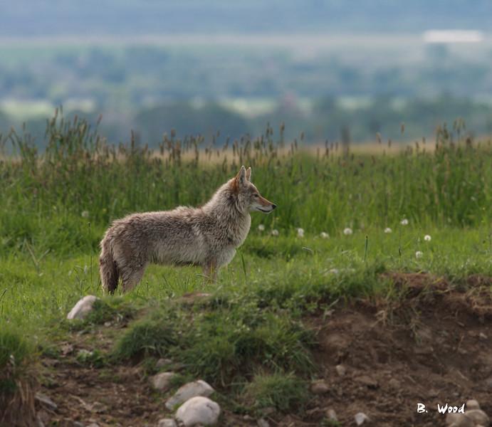 CL 07MY5939<br /> Coyote (Canus latrans).