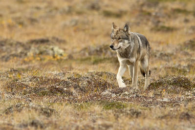 Denali Wolf On The Run Denali National Park Alaska © 2012