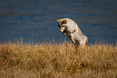 Coyote Ready to Launch Hayden Valley, Yellowstone National Park Wyoming © 2010