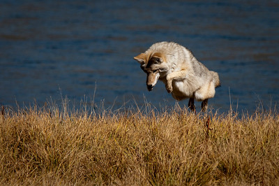 Coyote Launch Sequence Initiated Hayden Valley, Yellowstone National Park Wyoming © 2010