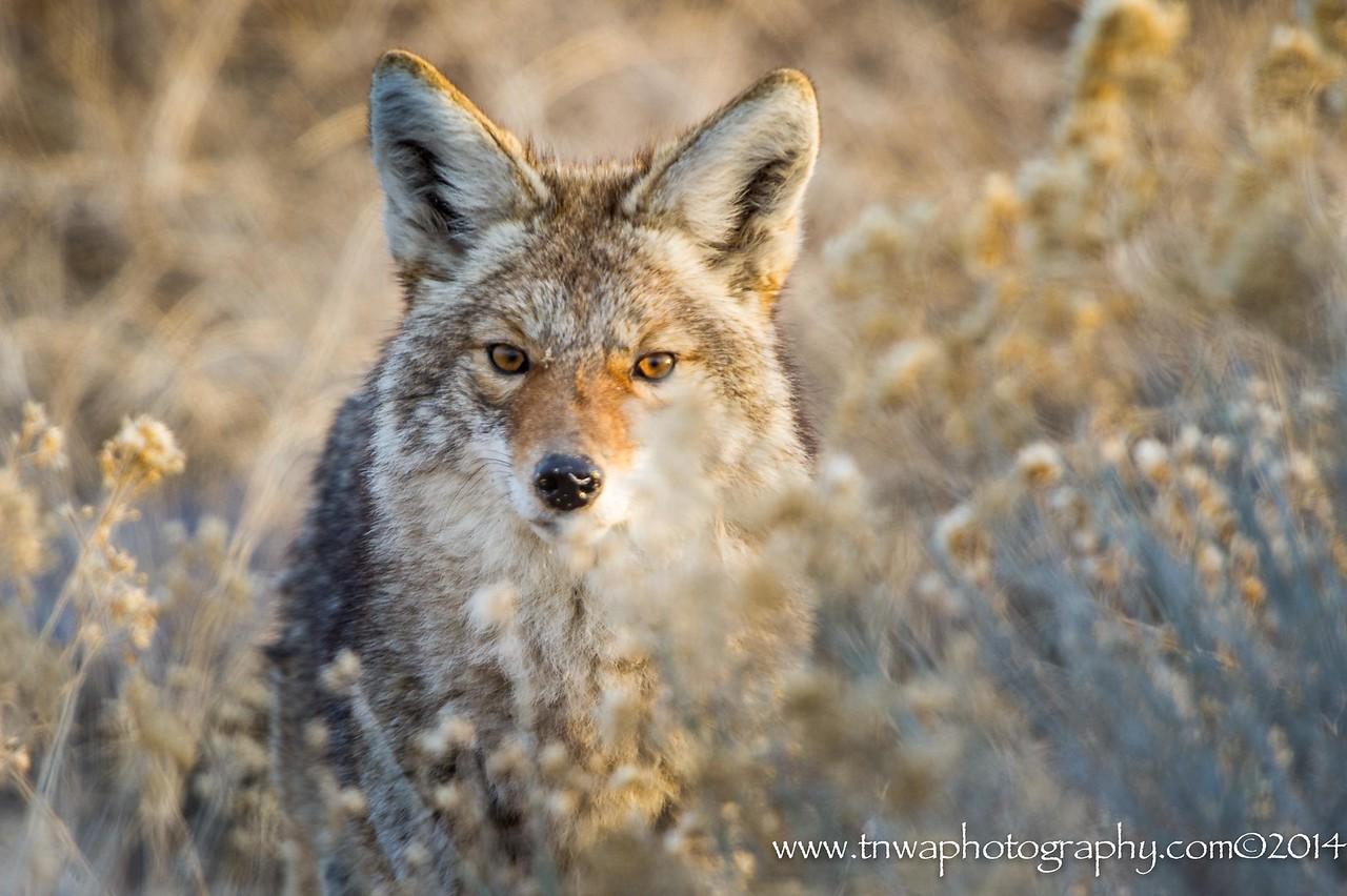 Coyote Eye Communication Antelope Island State Park Utah © 2014