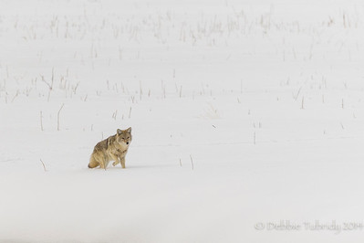 Coyote Searching in a Sea of White Yellowstone National Park Wyoming © 2014