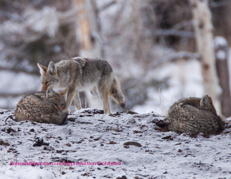 This is just a neat photo, note how they curl up to beat the cold. The photo was taken across from Junction butte.