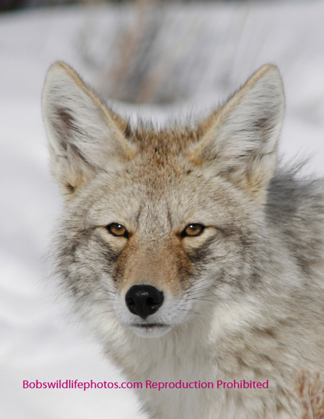 This photo of a handsome coyote was taken in the lamar valley by Sherry. Note the eyes.