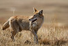 Coyote, Badlands National Park