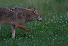 Coyote, Great Smoky Mountains National Park