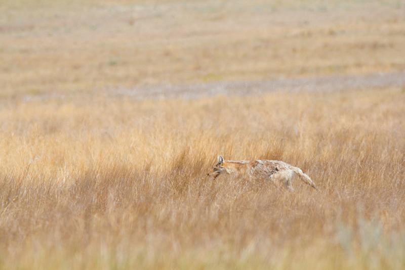 Coyote, Badlands National Park