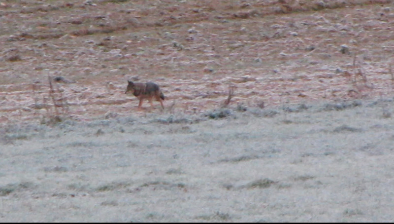 1-minute video of large coyote