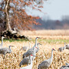 Sandhill Crane flock