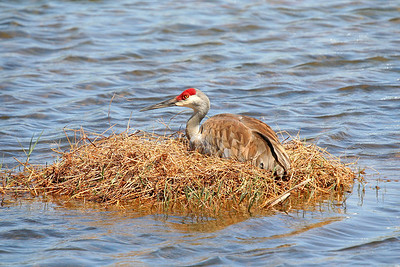 sand hill crane nesting