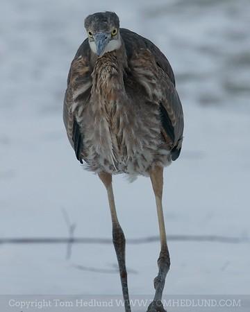 This Great Heron followed us