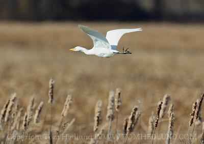 Horicon-Cattle Egret