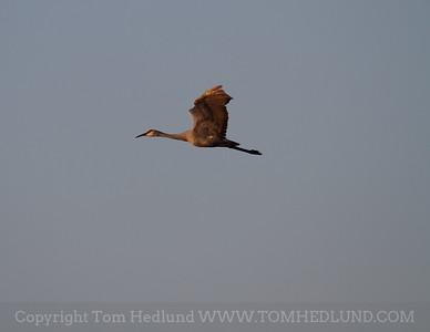 Jasper-Pulaski Sandhill Cranes 10-29-2011