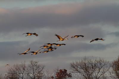 Jasper-Pulaski Sandhill Cranes 10-27-2012