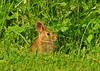 Rabbit Naples DSC_1119