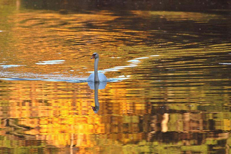 durand swans 101809 1DSC_0191