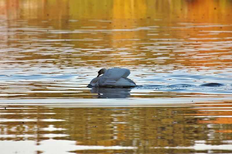 durand swans 101809 3DSC_0194
