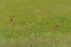 Deer Naples 3 DSC_1039