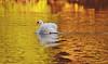 durand swans 101809 10DSC_0252