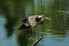 Heron 12 DSC_2710