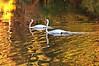 durand swans 101809 6DSC_0227
