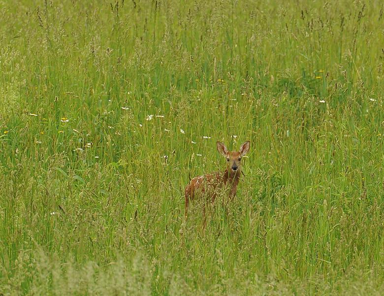 Deer Naples 2 DSC_1038