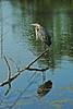 Heron 22 DSC_2742