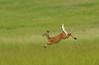 Running deer Victor 1 DSC_1022