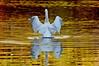durand swans 101809 4DSC_0197