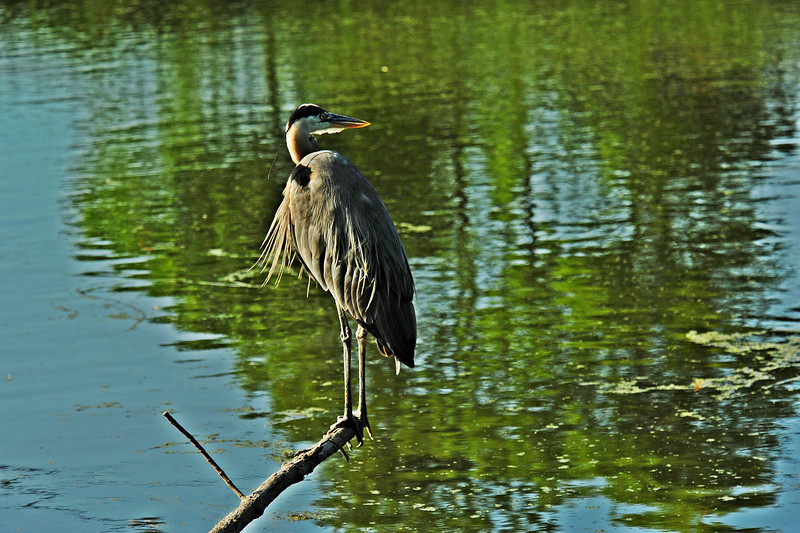 Heron 28-I heard something DSC_2766