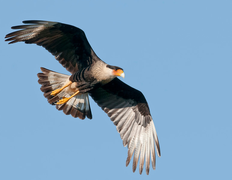 caracarainflight
