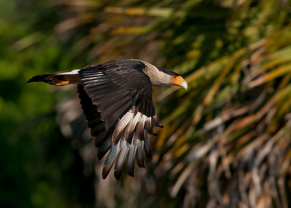 Brian's Crested Caracaras