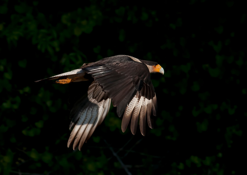 caracaraearlylightflight
