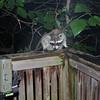 Raccoon eyes the critter cam. 9/02/2010