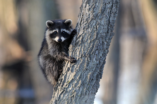 Squaw Creek, Mo. A young raccoon. Ok so it is not on my deck, but too cute not to post this photo, I shot 11/19/08.