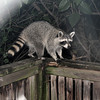 Raccoon on my deck just before 5am. The previous critter cam shot is of the same raccoon. 9/02/2010