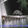 Raccoon activates the critter cam. I also got photos with my human cam. 9/2/2010