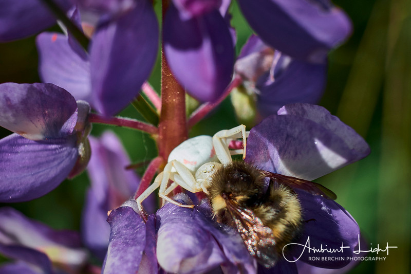 Crab Spider in Lupine
