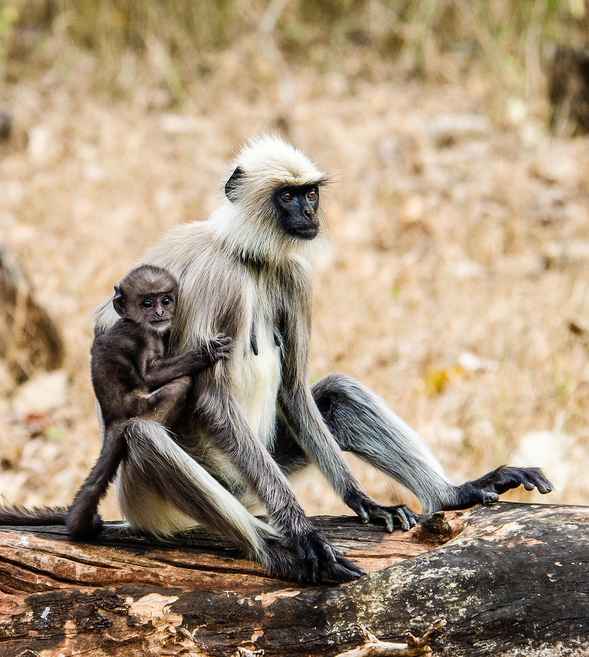 Gray Langur mother and baby