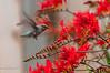 Hummingbird_2014-4998
