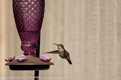 Critters_Birds_Hummigbird_Spring_2021 (1 of 1)