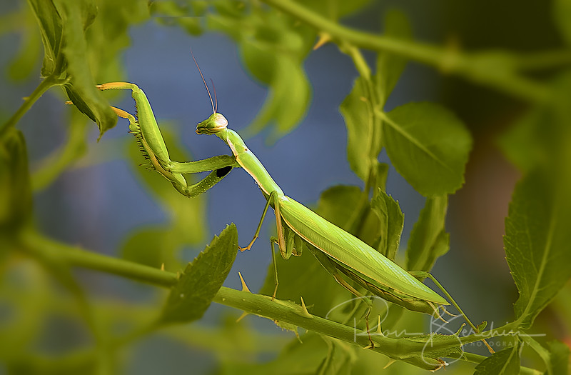 California Mantis (Stagmomantis Californica)