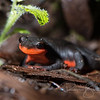 Red Bellied Newt, Taricha rivularis