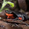 Red Bellied Newt, Taricha rivularis