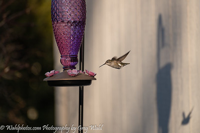 Humming Bird_2021 (1 of 1)