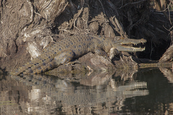 Saltwater Crocodile - Corroboree Billabong, Northern Territory