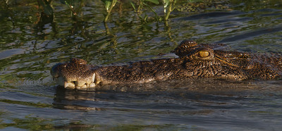 Saltwater Crocodile - Yellow Water Billabong, Northern Territory