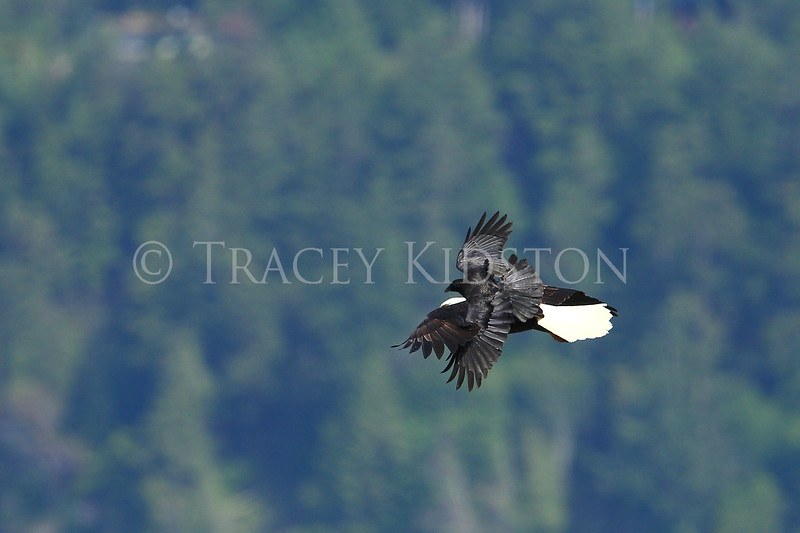 American Crow (Corvus brachyrhynchos)<br />  <br /> You may purchase a print or a digital download. If purchasing a digital download please look at the licensing agreement terms for personal or commercial use.