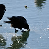 The crows were pecking into the frozen lake apparently for drinking water. 1.9.2015.