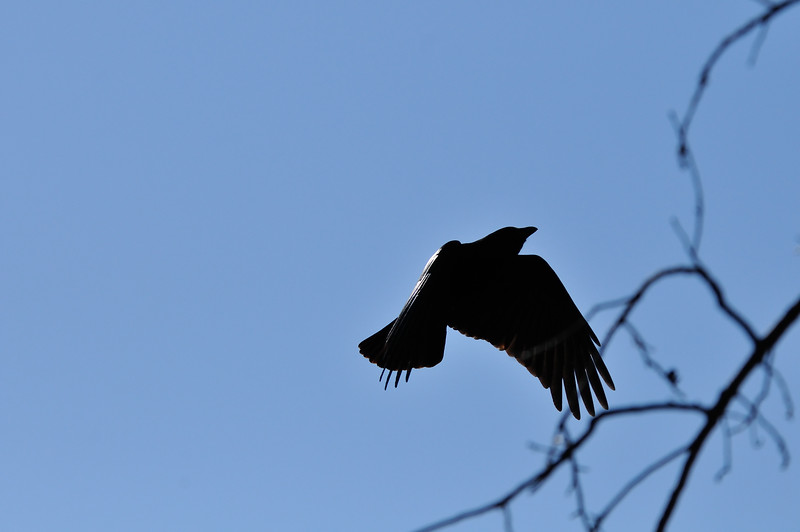 This crow flew into a tree and landed very close to me. 1.9.2015.